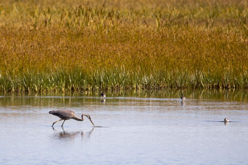 Great blue heron seen in profile wading in the Gros-Cacouna Marsh during a golden hour late summer morning stock photography