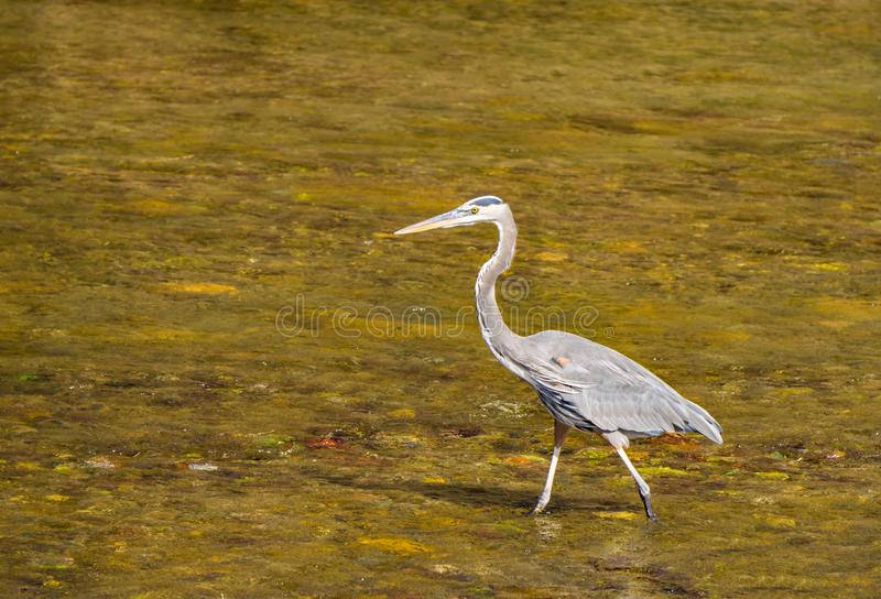 Great Blue Heron looking for a Meal royalty free stock image