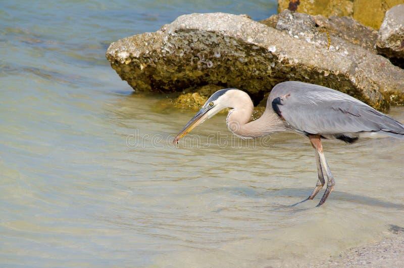 Great blue heron with shrimp in beak royalty free stock photo