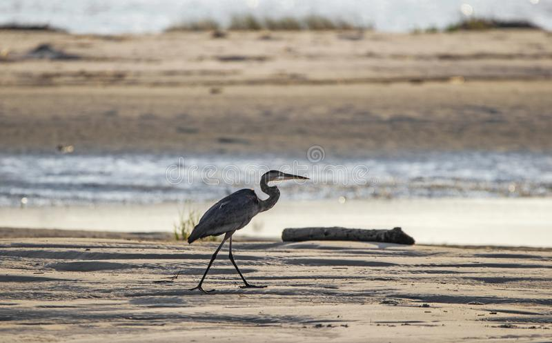 Great Blue Heron silhouette on beach, Hilton Head Island stock image