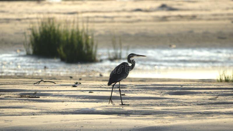 Great Blue Heron silhouette on beach, Hilton Head Island stock images