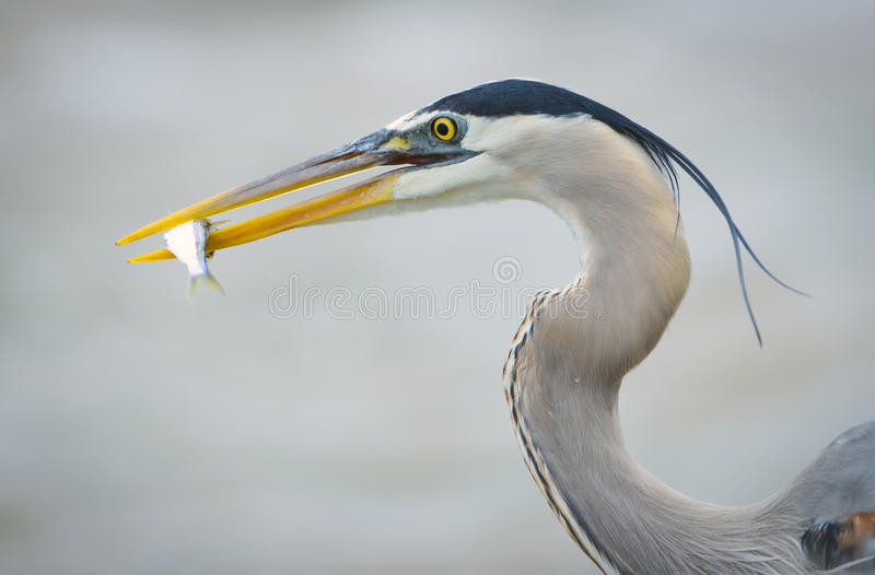 Download Great Blue Heron With Small Fish Stock Image - Image: 47776491