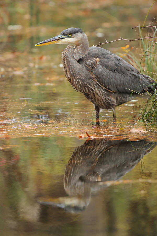 Download Great Blue Heron Stalking Its Prey Stock Photo - Image: 27719448