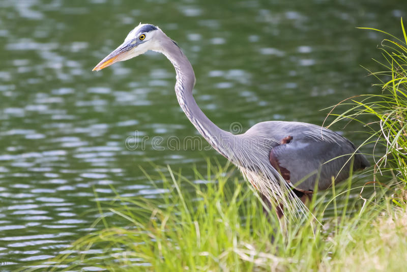 Great Blue Heron Stalking Waterside Stock Photo