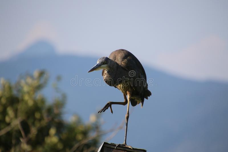 A great blue heron standing on a bird house royalty free stock photo
