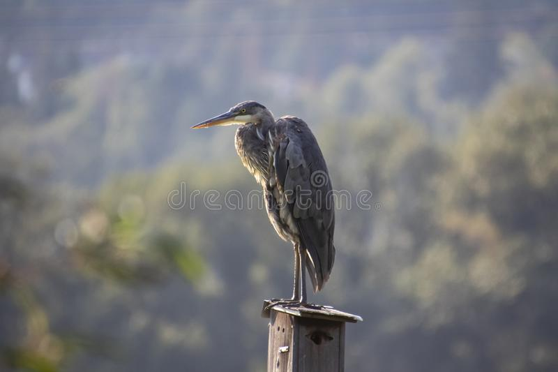 A great blue heron standing on a birdhouse royalty free stock image