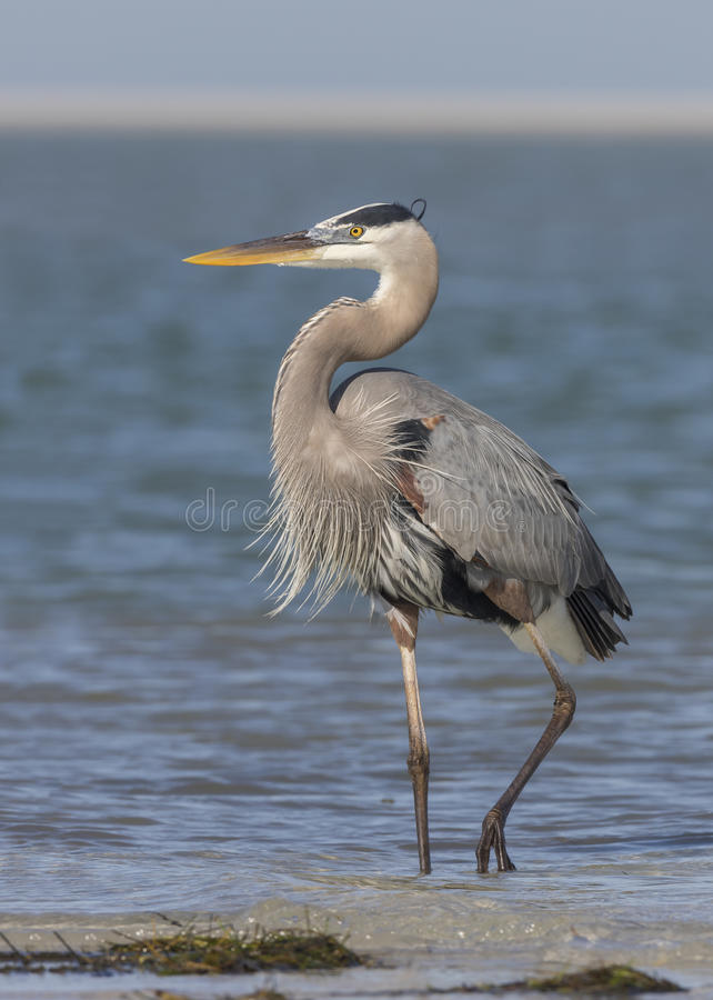 Great Blue Heron Standing on a Florida Beach royalty free stock photos