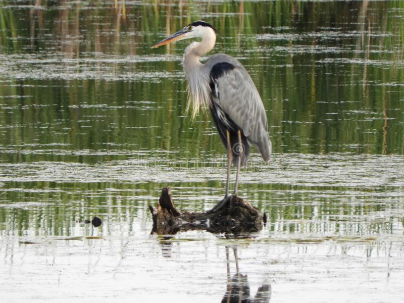 Great Blue Heron standing in marsh at Montezuma. The Great Blue Heron is the largest North American heron. Montezuma National Wildlife Refuge is a wildlife royalty free stock photo