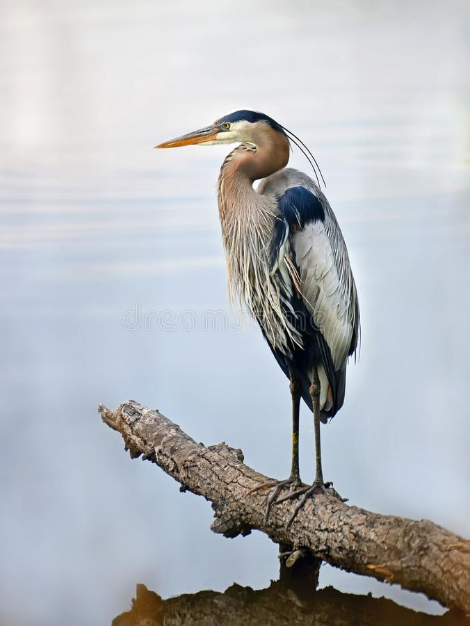 Great Blue Heron standing proudly on a log over looking the Chesapeake bay stock photos