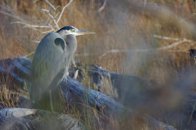 Great blue heron standing quietly on a log, shot through the branches of a bush royalty free stock images