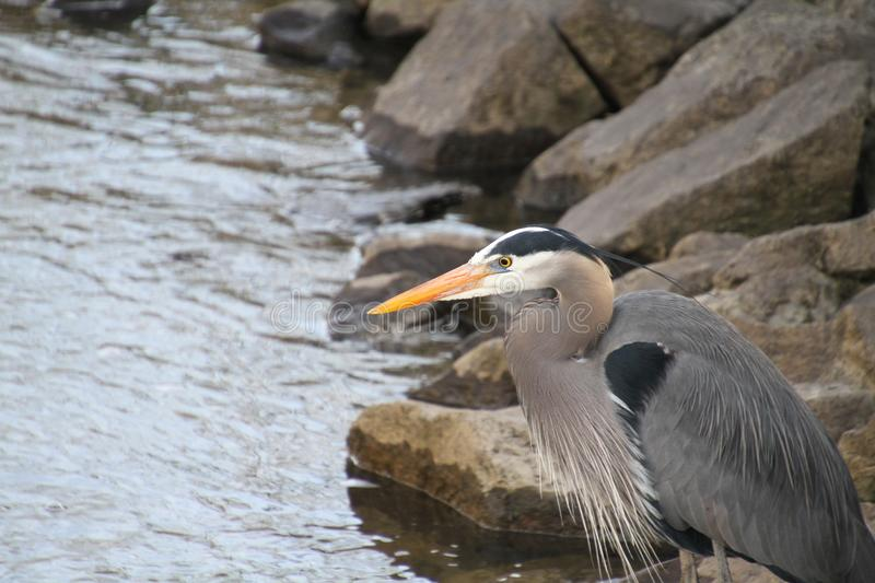 A great blue heron standing on a rock stock photos