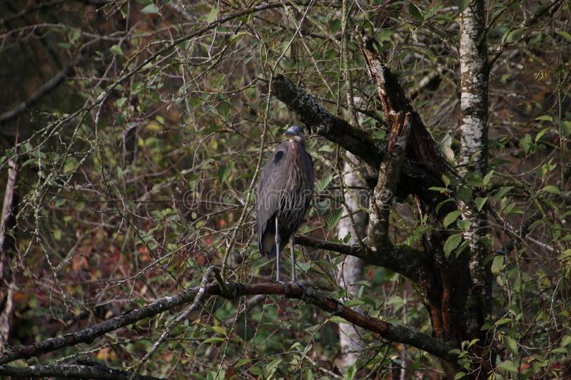 A great blue heron standing on a tree branch stock photos