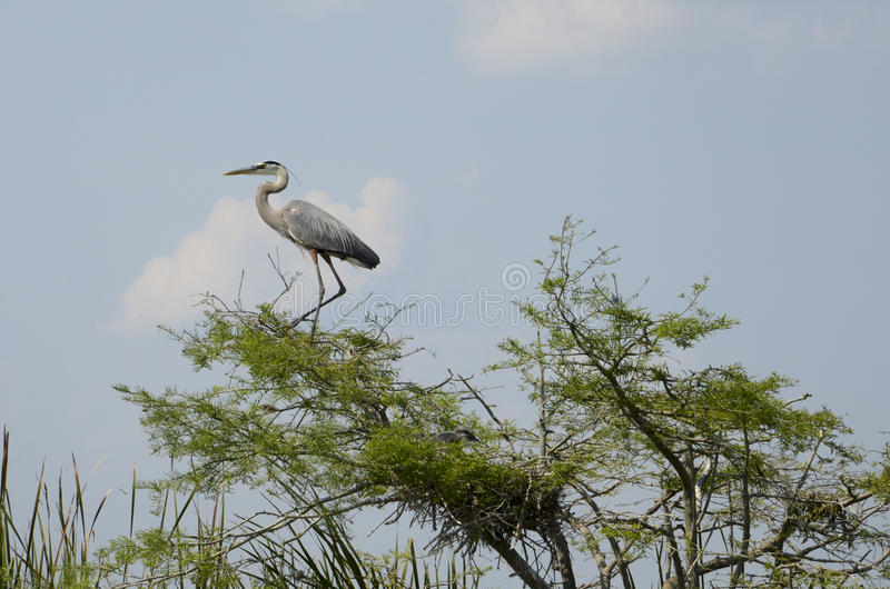 Great Blue Heron Standing in Tree Beside Chick in Nest royalty free stock photos