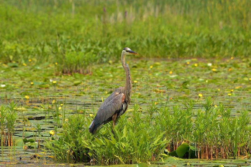 Great Blue Heron standing in water and vegetation royalty free stock photos