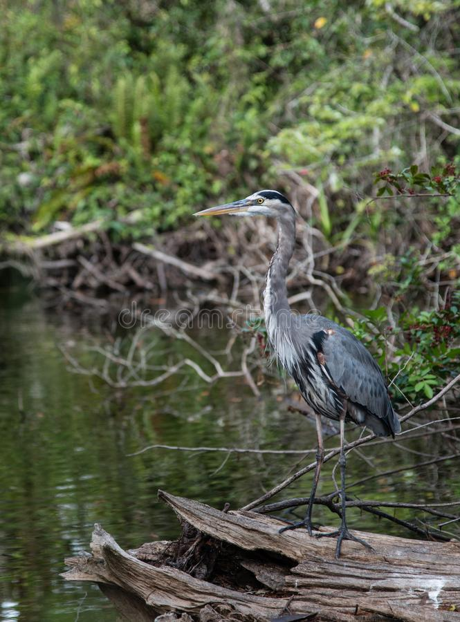 Great blue heron stands on a fallen tree. A great blue heron stands on a fallen tree in a swamp in southwestern Florida royalty free stock photography