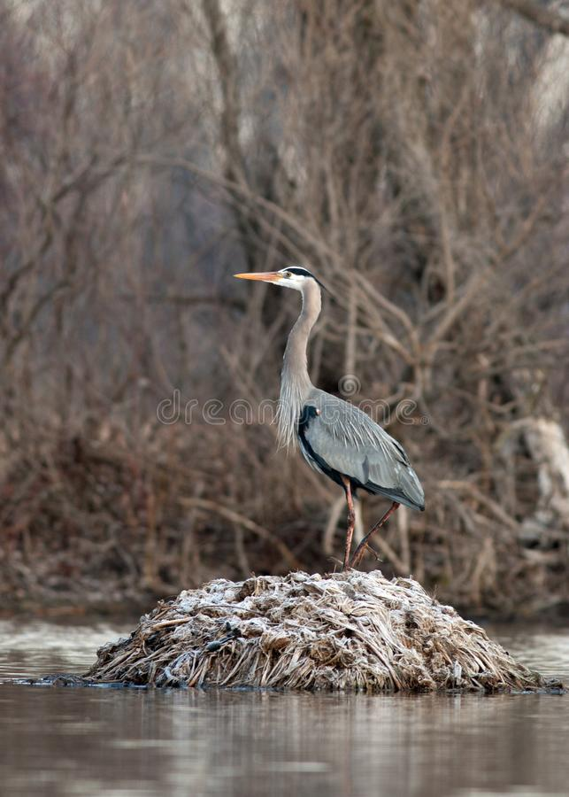 A Great Blue Heron stands on a frosted muskrat house stock photo