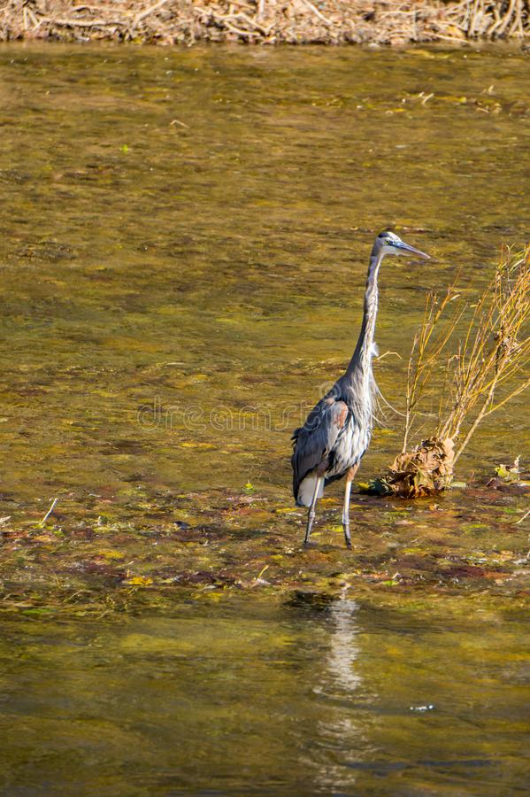Great Blue Heron in a Stream royalty free stock photo