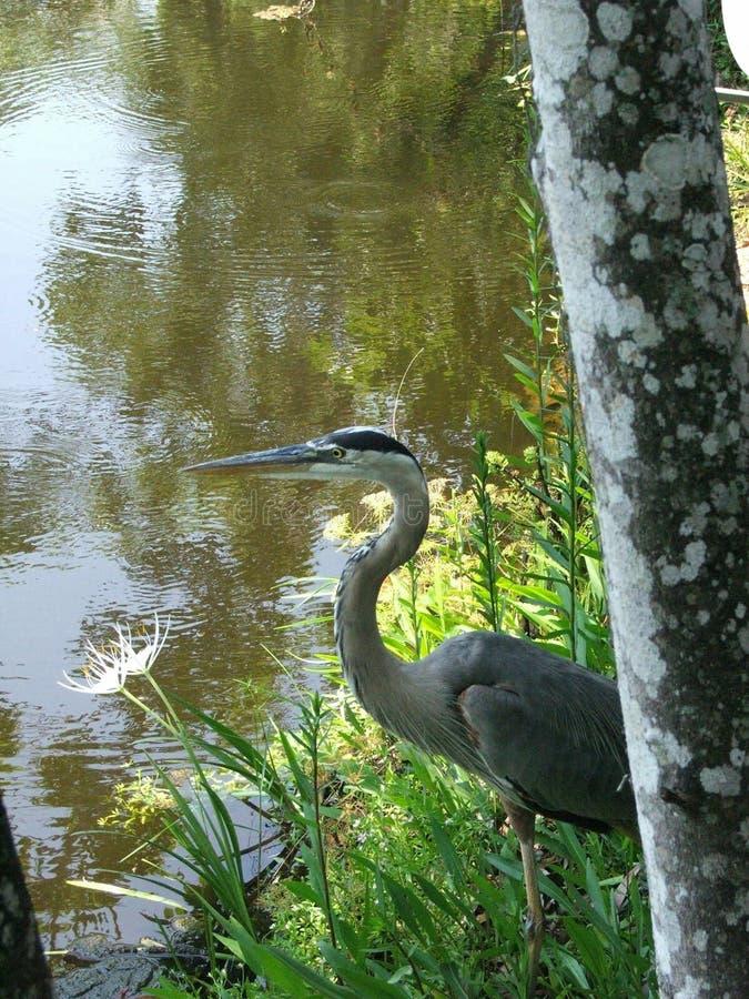 Great Blue Heron at sunrise. Taken at Turtle Creek RV Resort in Homosassa Springs, FL stock photography