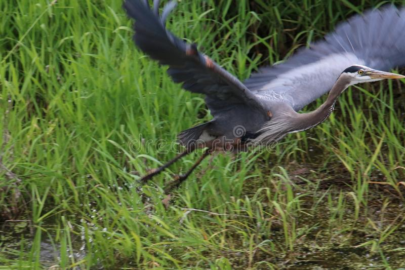 A great blue heron taking off from a stream stock photos