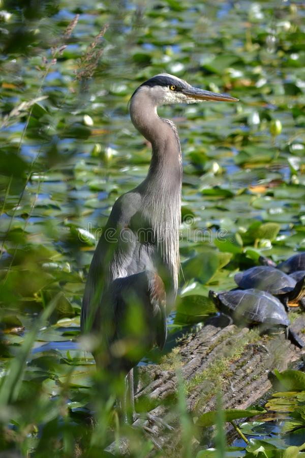 The Great Blue Heron and The tortoises stock photography