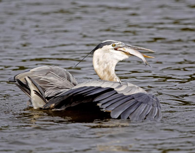 Great Blue Heron trying to eat a large fish stock images