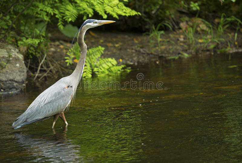 Great blue heron wading in Eightmile River, Oxford, Connecticut. Great blue heron wading in the water of Eightmile River at Southford Falls State Park, Oxford royalty free stock image