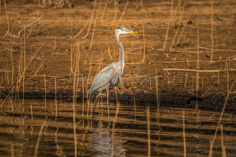 Great blue heron wading on the shoreline stock images