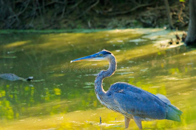 Great Blue Heron. A Great Blue Heron wading in some water at a Wildlife Refuge located in Bald Knob, Arkansas 2017 royalty free stock photography