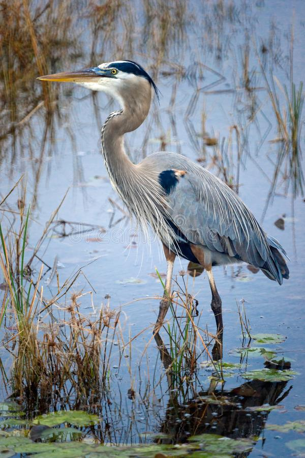 Great Blue Heron wading in the surf at low tide. stock image