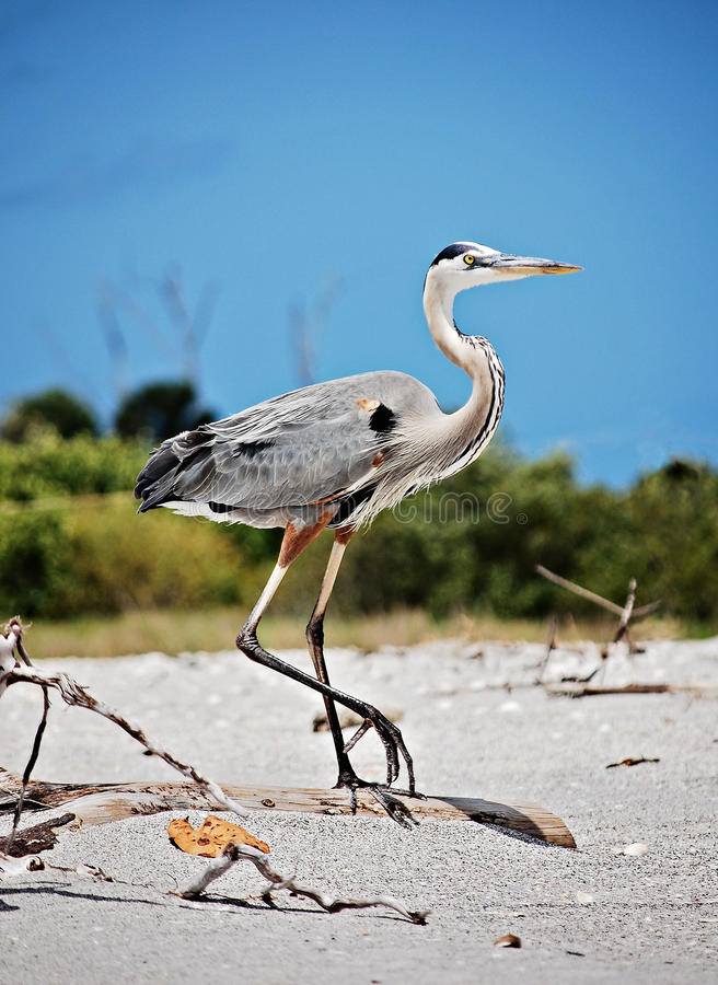Great Blue Heron. A great blue heron walking on the beach royalty free stock photos