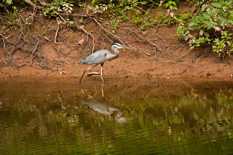 Great Blue Heron Walking at Edge of Creek. Great Blue Heron walking in shallow water of Broad Run Creek, tributary of the Potomac River, Leesburg, Virginia royalty free stock photography