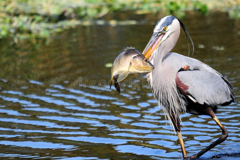 Download Great Blue Heron Walking With Fish Stock Photo - Image: 29561194
