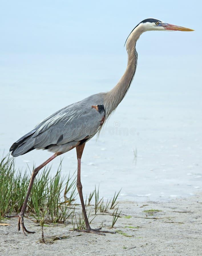 Free Great Blue Heron Walking On The Beach. Royalty Free Stock Photos - 52533588