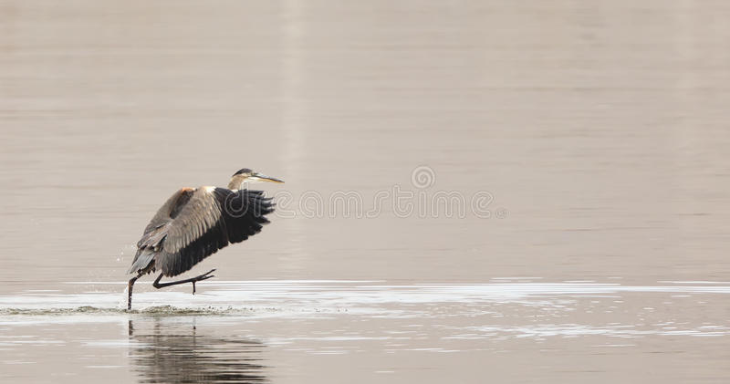 Great Blue Heron walking on water royalty free stock photo