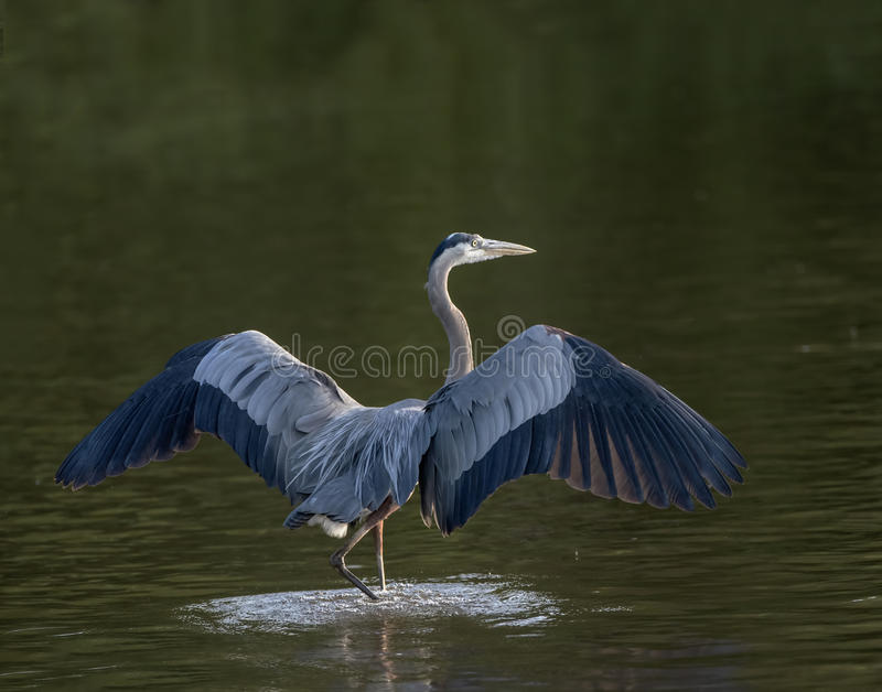 Great Blue Heron walking with wings open. An adult great blue heron walking in shallow water stock photography