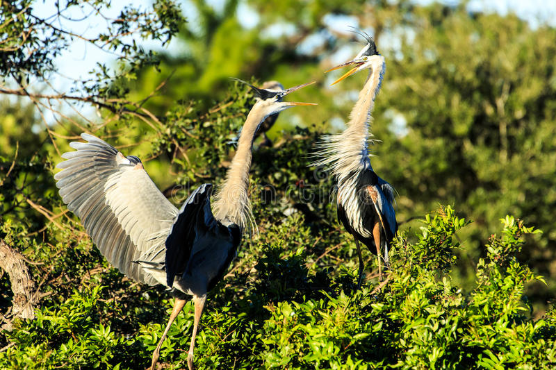 Great Blue Herons Battle stock images