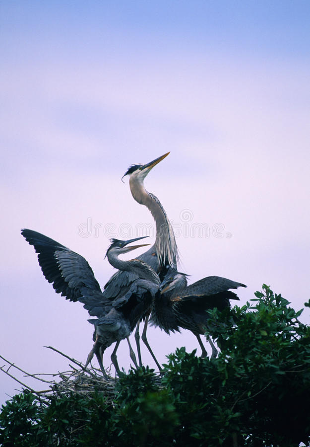 Great Blue Herons In Nest Stock Photo