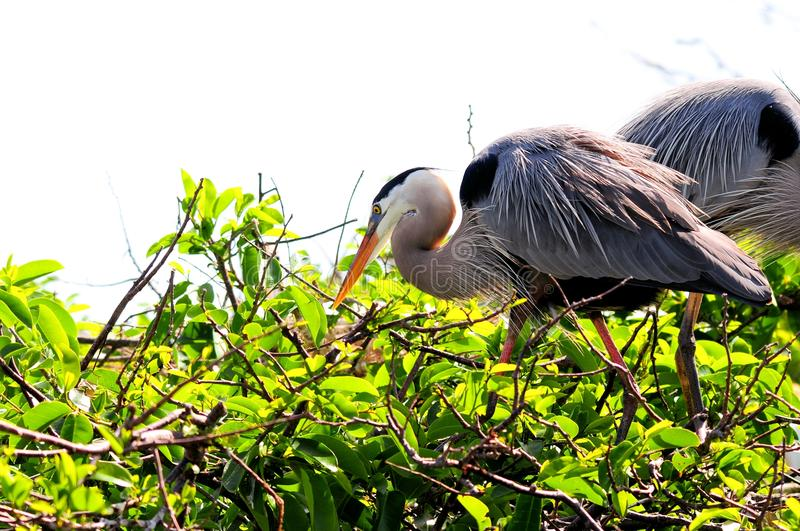 Great Blue Herons in nest in Florida stock images