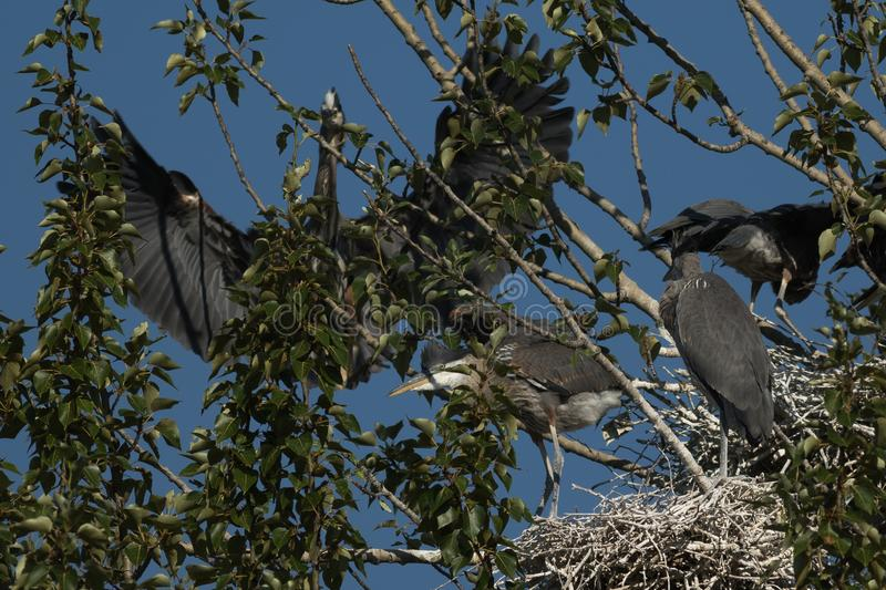 Great Blue Herons on a nest. stock photography