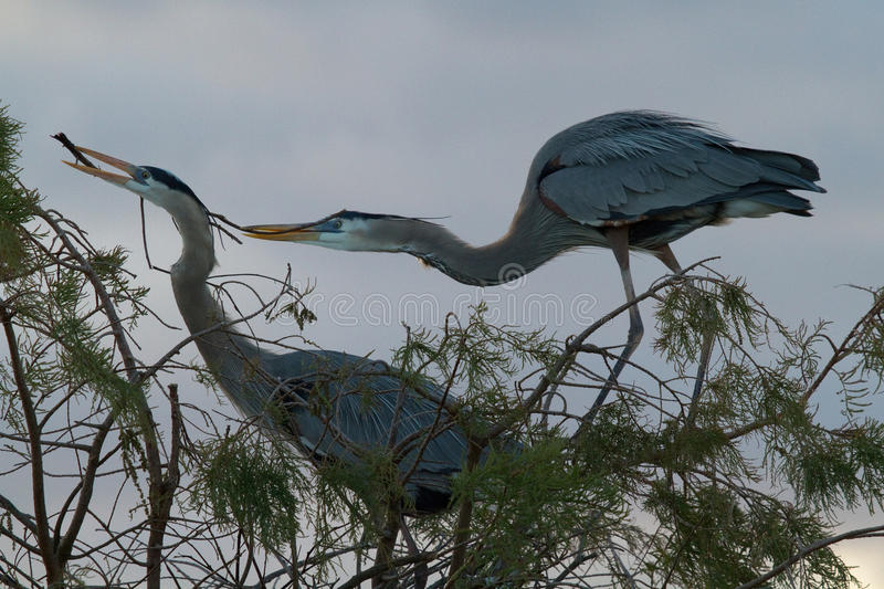 Great Blue Herons Nesting stock photo