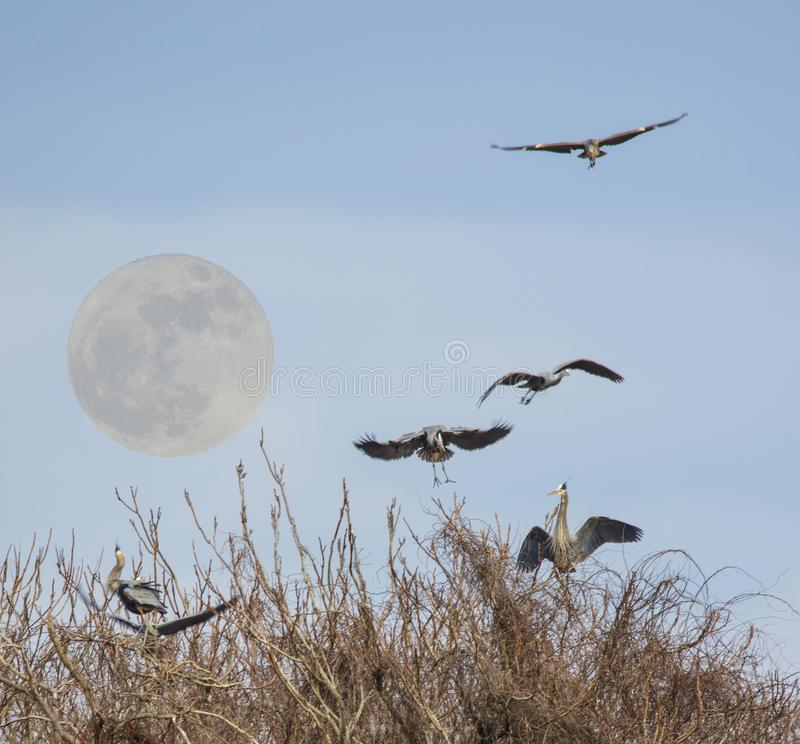 Great Blue Herons with Super moon rising royalty free stock photography