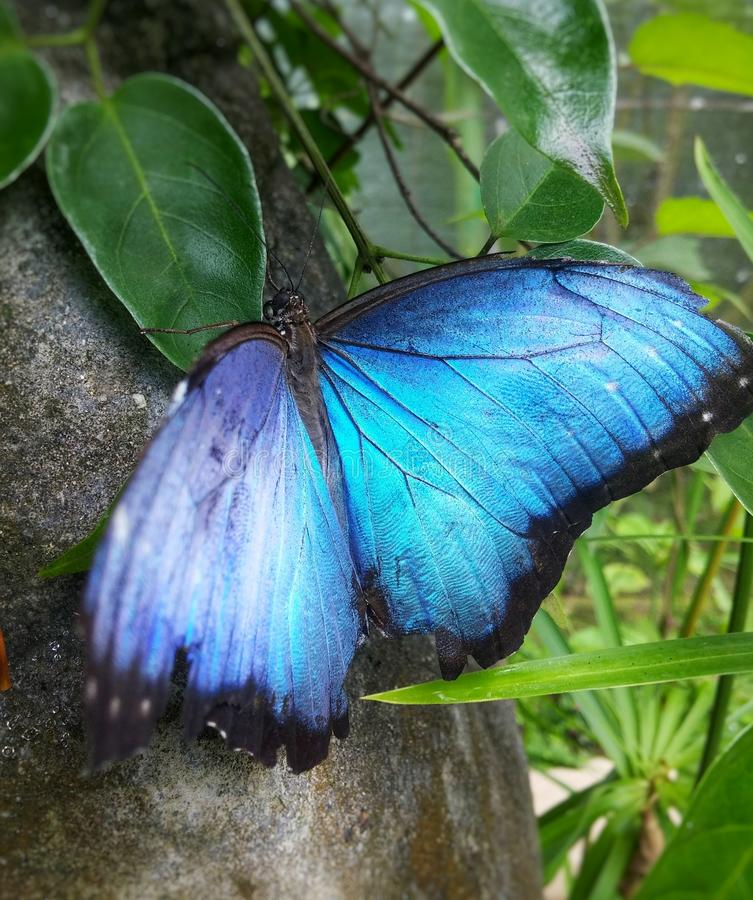 Great blue Morpho butterfly Morpho peleides, tropical butterfly from Colombia stock photography