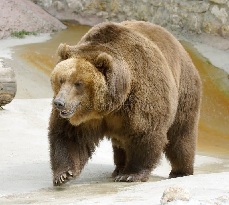 Great brown bear stock image