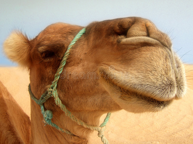 Great camel headshot royalty free stock images