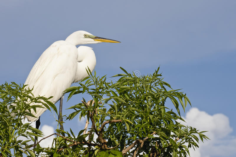Download Great Cattle Egret stock image. Image of treetop, wild - 12149687