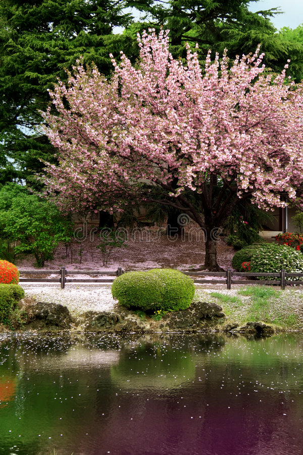 Great clear Cherry Blossom tree. On a lake in japan Tokyo's garden stock photos