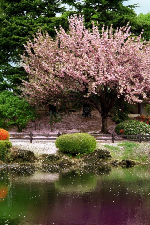 Great clear Cherry Blossom tree stock photos