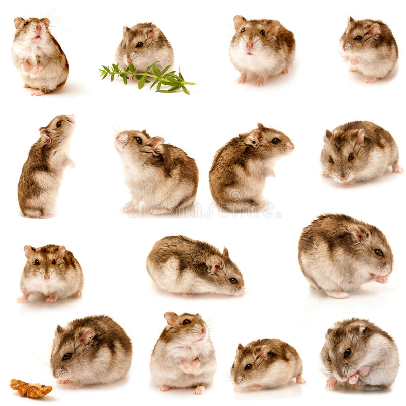 Free Great Collection Of Hamster Stock Photos - 14881053