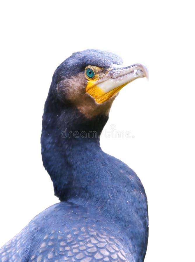 Download Great cormorant stock photo. Image of carbo, cormorant - 7213950
