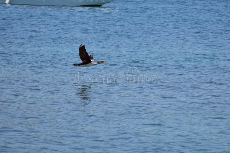 The great cormorant is flying over the adriatic sea royalty free stock photography